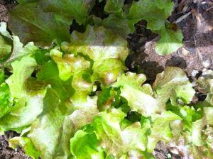 lettuceingarden